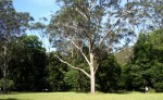 a grand old gum tree