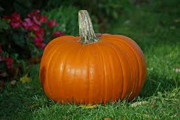 resting pumpkin