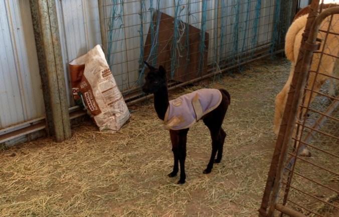 black baby alpaca